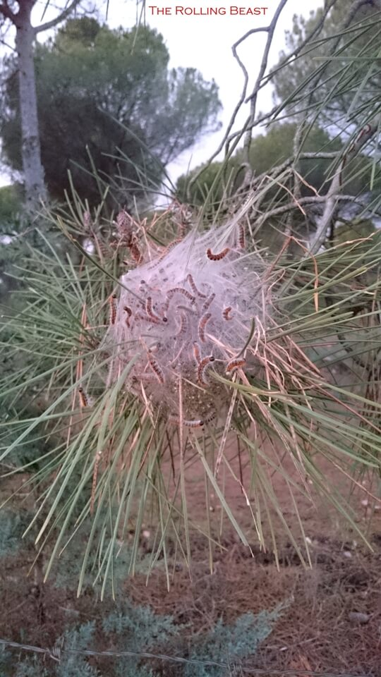 Processionary spiders